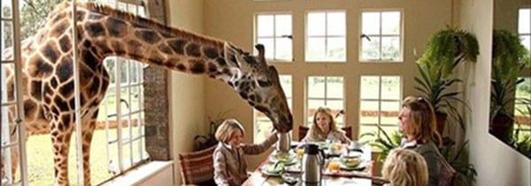 Kenya: giraffe in hotel