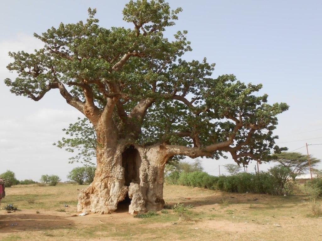 Nel baobab il Dna del Senegal 01