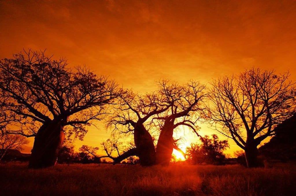 Nel baobab il Dna del Senegal 03