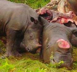 Un piccolo rinoceronte di fianco alla mamma uccisa dai bracconieri
