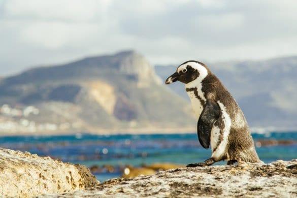 Sudafrica: pinguini in spiaggia (e in pericolo)