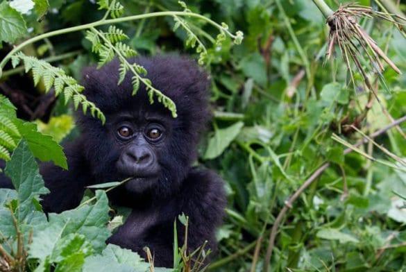 Ruanda: lusso tra i gorilla