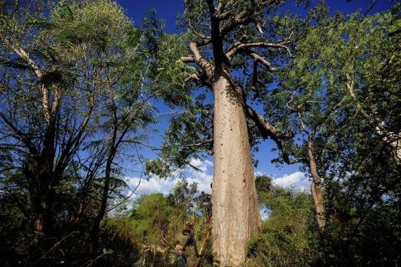 Baobab 4