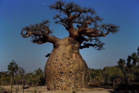 Baobab 7