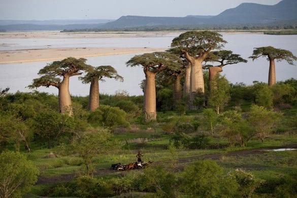 Baobab 9